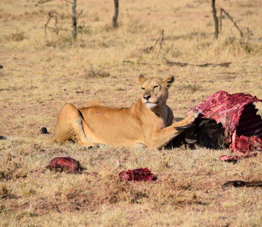 POACHER GETS EATEN BY LIONS