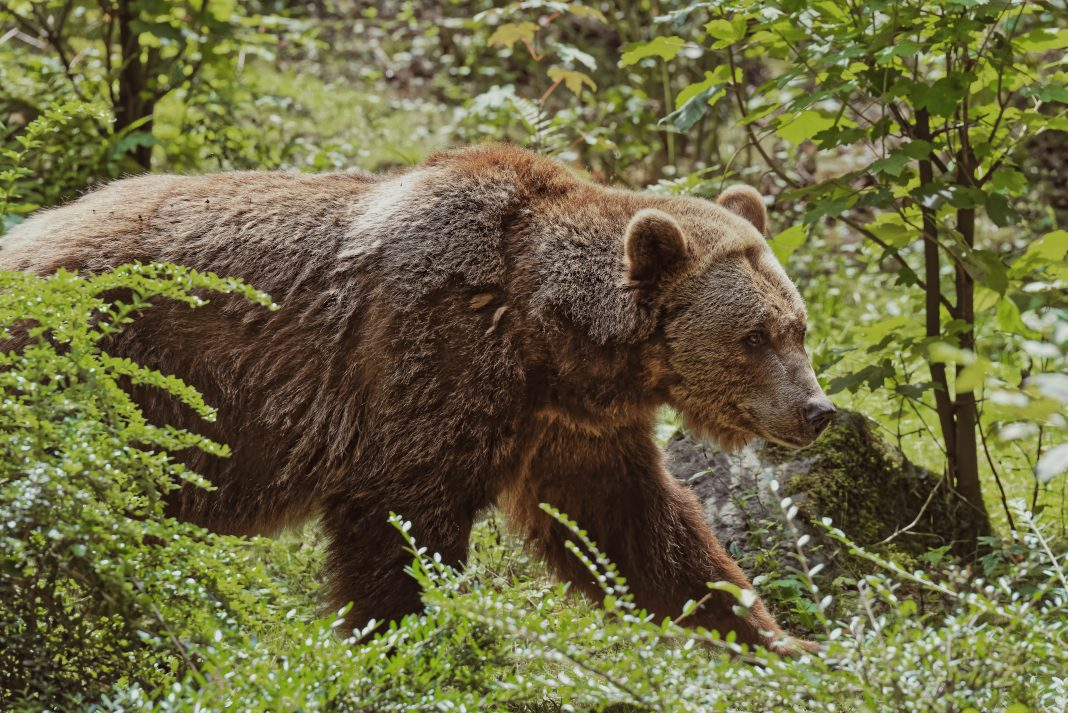 VIDEO: GRIZZLY KILLS BULL ELK IN YELLOWSTONE