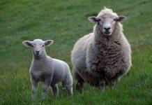 SHEEP SACRIFICE
