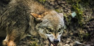 COLORADO WOLF REINTRODUCTION
