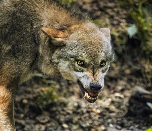 COLORADO WOLF REINTRODUCTION