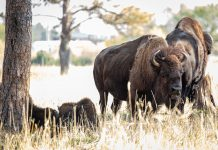 NPS RECEIVES OVER 45,000 APPLICATIONS FOR BISON CULL