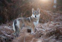 LEGISLATION TO OPPOSE UTAH WOLF INTRODUCTION