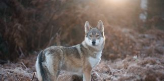 LEGISLATION TO OPPOSE UTAH WOLF INTRODUCTION