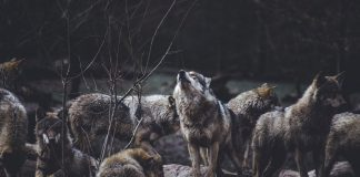 2020 WYOMING WOLF HUNTING PROPOSAL