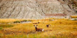 BIG HORN SHEEP REINTRODUCED ON ANTELOPE ISLAND