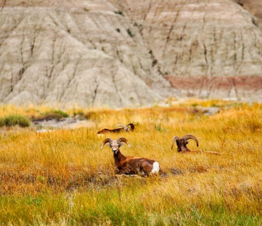 BIG HORN SHEEP REINTRODUCED ON ANTELOPE ISLAND