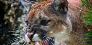 MORE COUGAR OPPORTUNITIES IN WASHINGTON