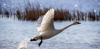 UTAH CLOSES SWAN HUNT EARLY