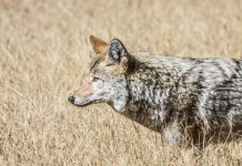 CALLING COYOTES WITHIN BOW RANGE