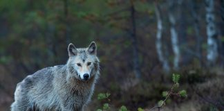 POSSIBILITY OF YEAR ROUND WOLF HUNTING IN IDAHO