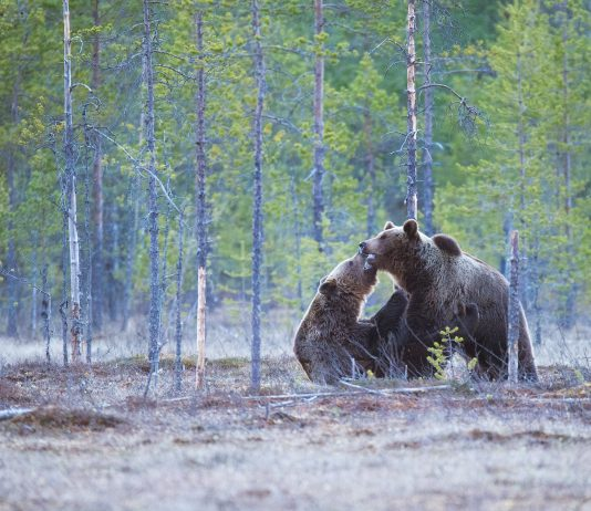 GRIZZLY NUMBERS HIGHER THAN REPORTED