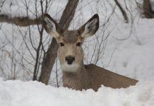 MULE DEER BIRTH TIMING STUDY CONCUDLES