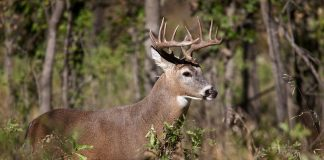 DISEASE KILLS 2,000 DEER IN OREGON
