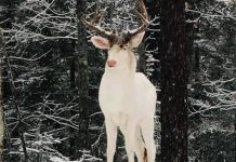 ALBINO DEER IN WISCONSIN