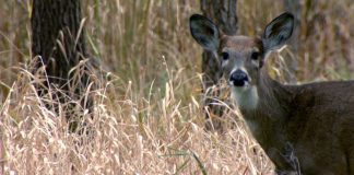 WHITETAIL DEER PLAN