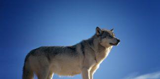 COLORADO GRAY WOLF RESTORATION