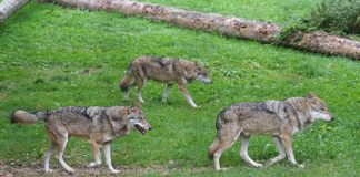 WOLF REINTRODUCTION COMING TO COLORADO