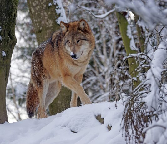OREGON PLAN OPENS DOOR WOLF HUNTING