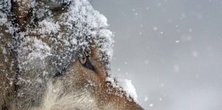 TWO WOLVES POACHED IN IDAHO