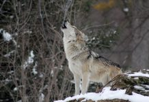 GRAY WOLF PROTECTION ENDS