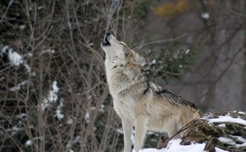 MANAGE OUR WOLVES ACT