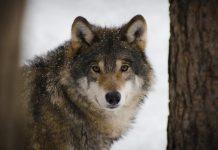 SHUTDOWN THREATENS WOLF