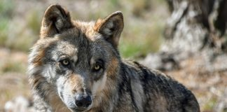 MEXICAN WOLVES KILLING LIVESTOCK