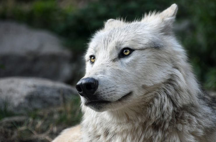 COLORADO COUNTY OPPOSES WOLF REINTRODUCTION