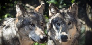 WYOMING DECREASE WOLF TAGS INCREASE POPULATION