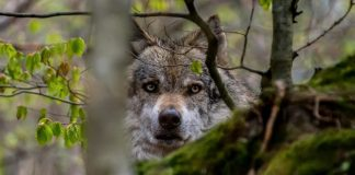 MONTANA COMMISSION REJECTS EXPANDED WOLF HUNTS