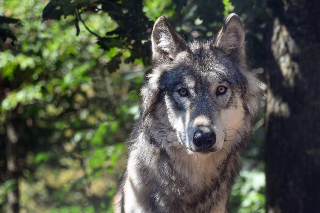 MINNESOTA WOLF HUNTING BAN DENIED