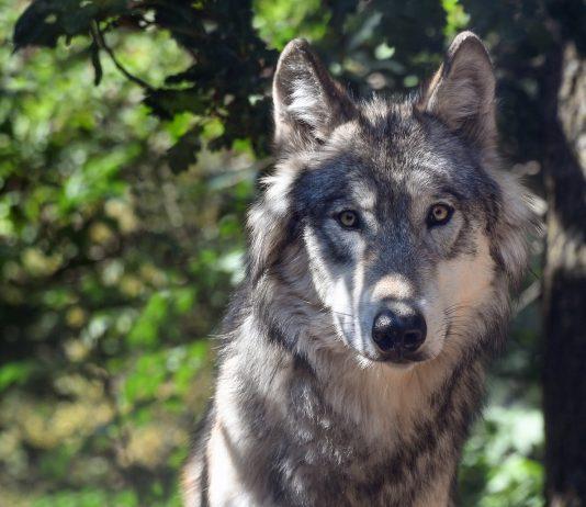 MINNESOTA WOLF HUNTING BAN DENIED