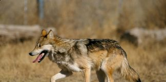 MEXICAN WOLF NUMBERS