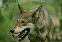 MEXICAN GRAY WOLF REMAIN PROTECTED
