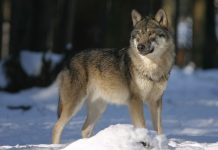 MONTANA COULD INCREASE WOLF HUNTING