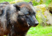 ISLE ROYALE WOLF DIES