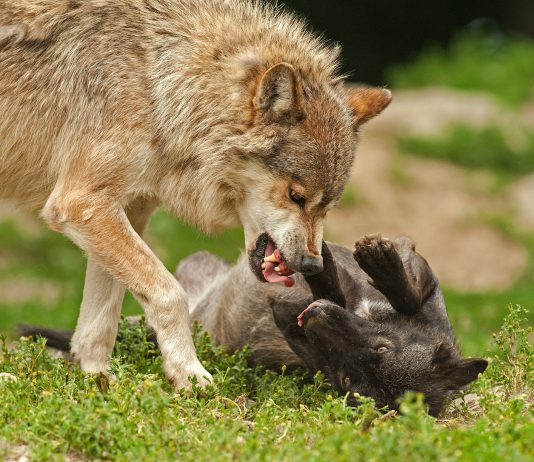 OREGON'S ROGUE WOLF PACK