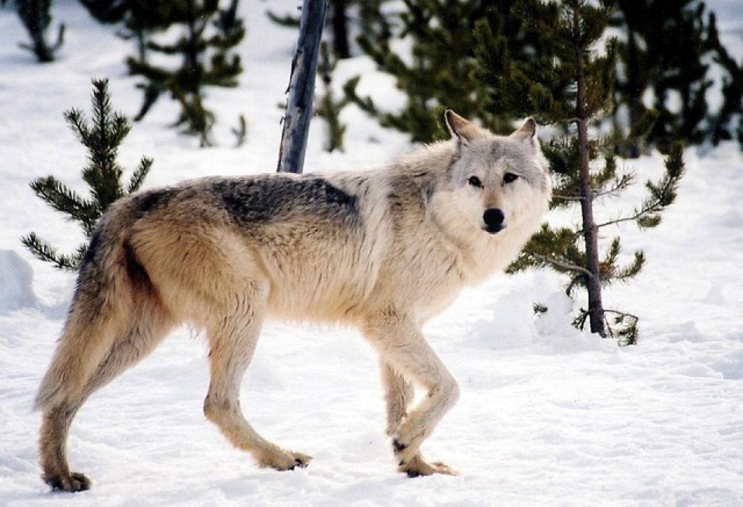 WOLF POPULATION IN IDAHO REMAINS STABLE