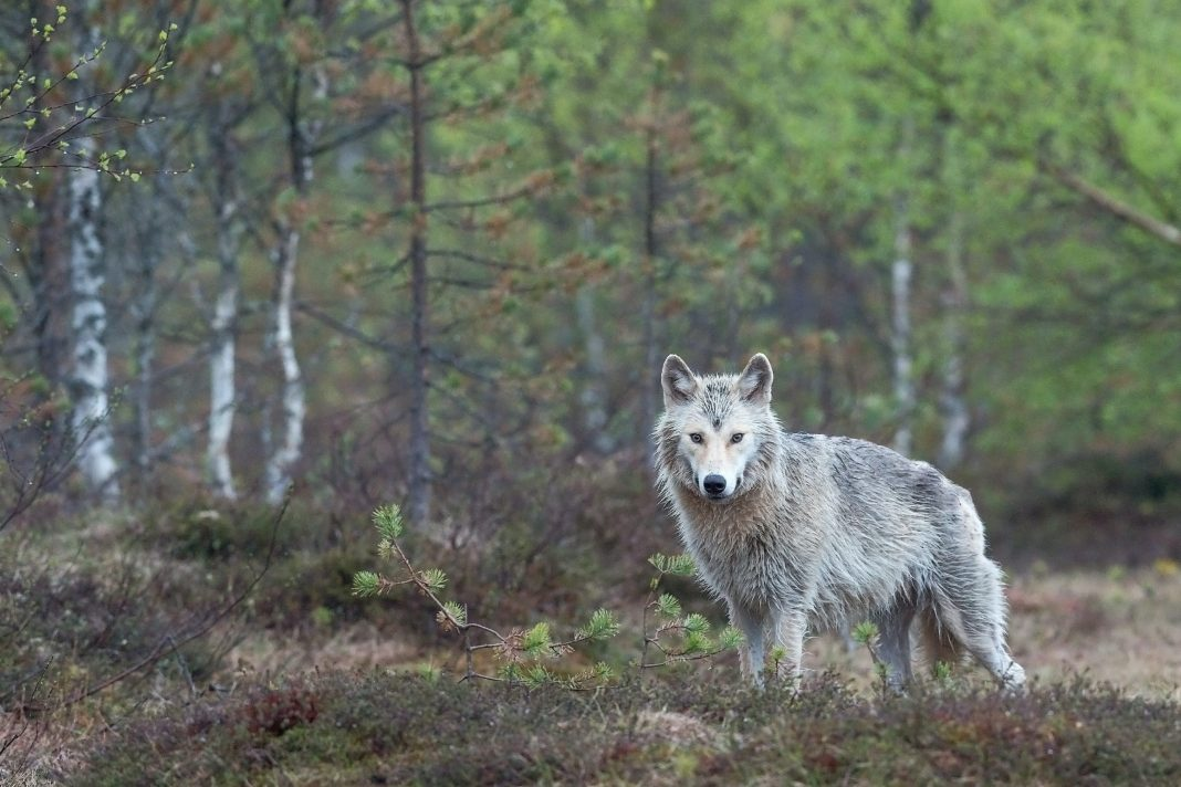 WOLF PROTECTION
