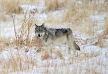 SOUTH DAKOTA WOLF MANAGEMENT PLAN