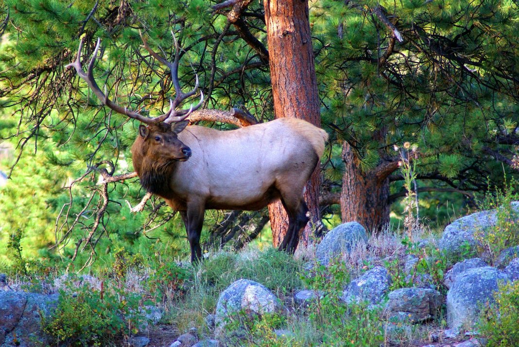 BULL ELK FOUND HEADLESS AND LEFT TO WASTE