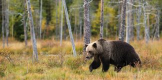 TWO GRIZZLY BEARS EUTHANIZED IN ONE WEEK